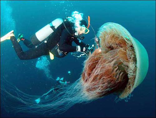 L'invasion des méduses géantes + 3 vidéos dans Ecologie medusesgeant01